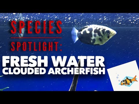 FRESHWATER CLOUDED ARCHERFISH SPECIES SPOTLIGHT