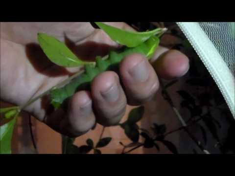 Rothschildia oriziba caterpillar (Saturniidae)