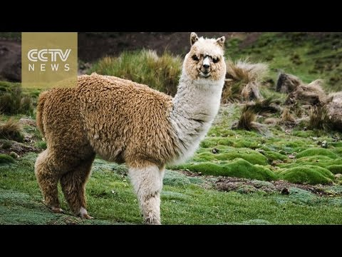 Peru cashes in on its large population of alpacas