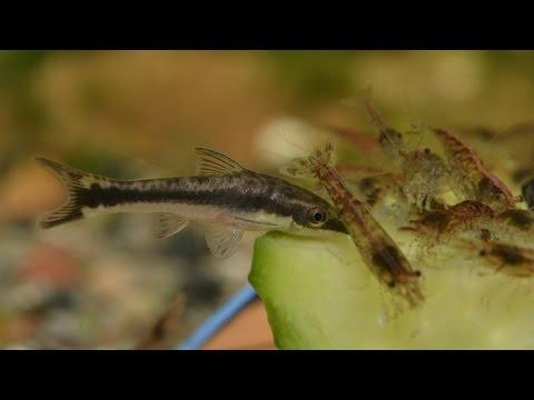Otocinclus Vittatus - Feeding On Cucumber.