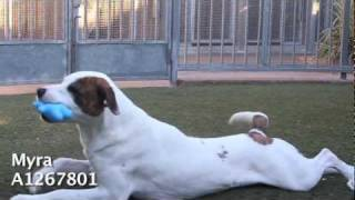 Adopt Myra at East Valley Animal Shelter