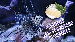 Сашими для крылатки и мурены (Fresh Sashimi for Moray and Lionfish)