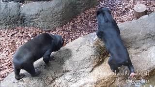 """マレーグマのキョウコちゃんとアズマ「いたずらっ子」@上野動物園 / Kyoco and Azuma the Sun bear """"Mischief"""