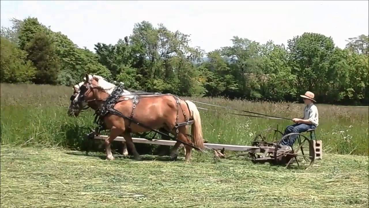Haflinger team mowing hay - YouTube
