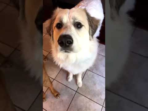 Dog tries mango for the first time, and loves it!