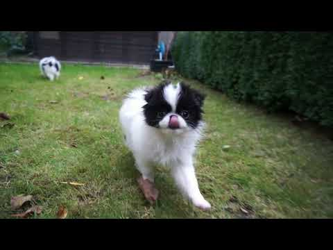 Japanese Chin Puppies ASTRAGUS  3months