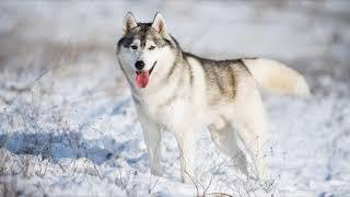 Хаски, порода собак (рассказывают Сергей Гущин и Александра Редькина)