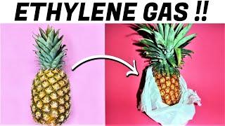 03 Methods How T๐ Ripen Unripe Pineapple at Home 🍍