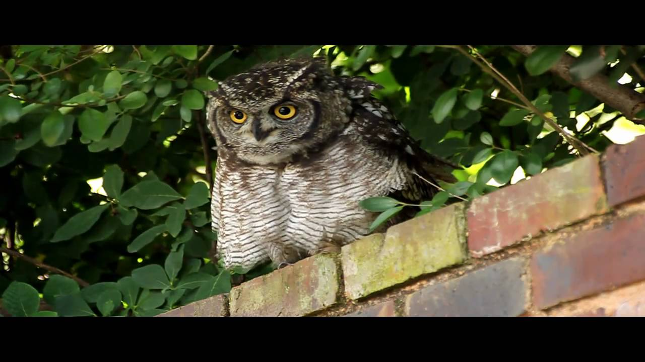 Spotted Eagle-owl Hisses and Makes Clicking Sounds