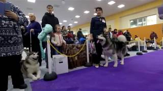 Снежные псы Сахалина 2018.  Ринг маламутов