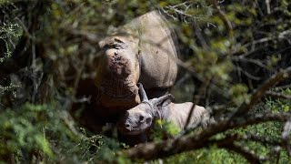 Thandi's calf: the rhino that should never have been born