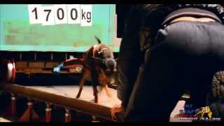Weight Pulling Miniature Pinscher 1700 Kg