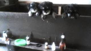 Miniature Schnauzer Puppies 9958475247