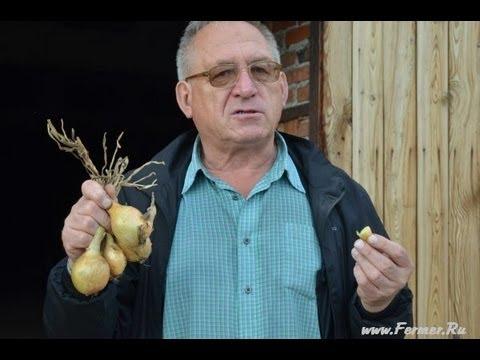 Старорусские сорта семейного крупнопноплодного лука - YouTube