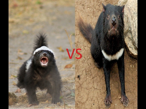 honey badger vs tasmanian devil youtube