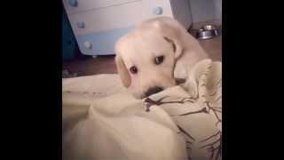 Щенок Лабрадора лает на камеру Labrador Puppy Barking At The Camera