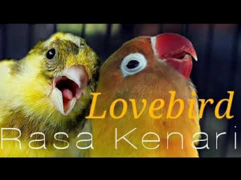 Download Lagu lovebird ngekek isian kenari