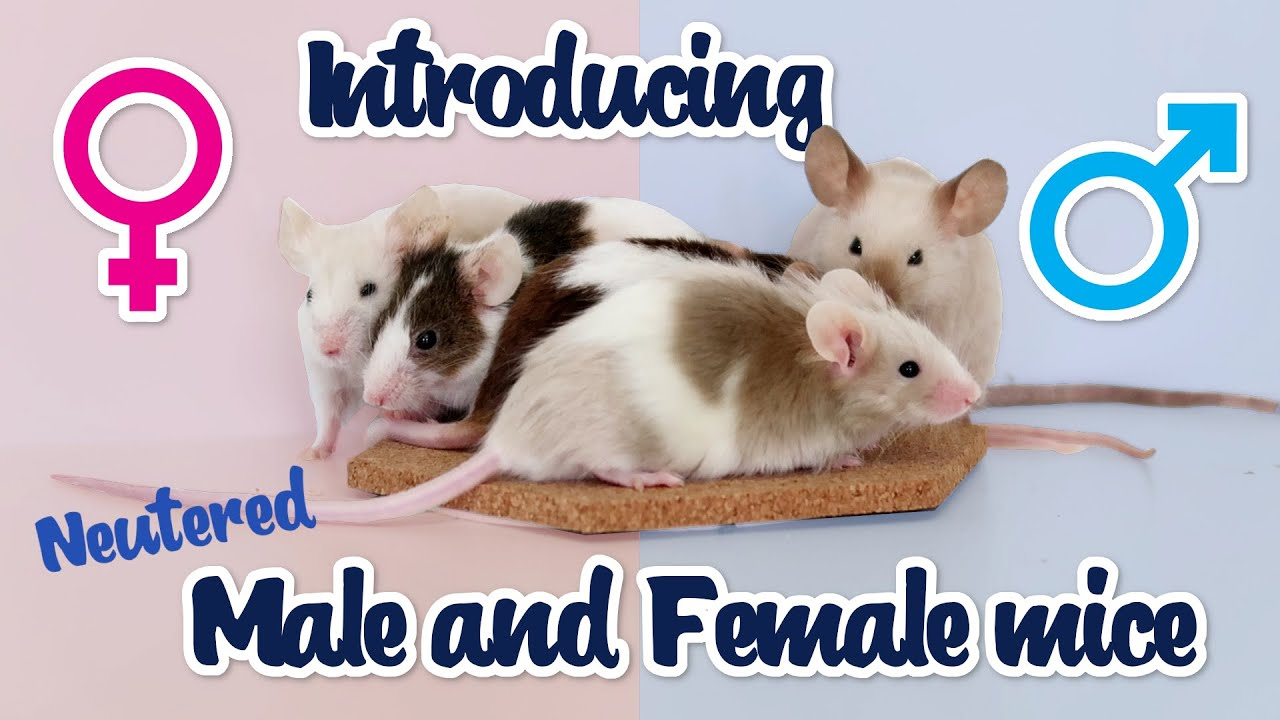 Introducing a neutered male mouse to female mice