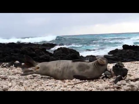 Monk Seal Sneeze Attack
