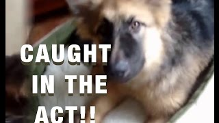 German Shepherd: Top 5 Funny Puppy Moments, Brought To You By German Shepherd Puppies