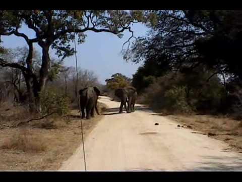Elephants Fight In Kruger
