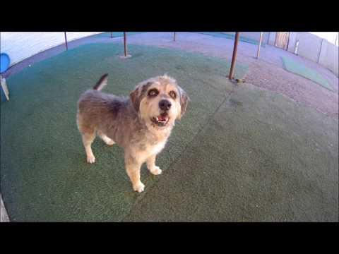 Eddie - Bearded Collie/Wheaten Terrier Mix For Adoption Tempe - AZ