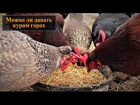 Можно ли кормить кур горохом
