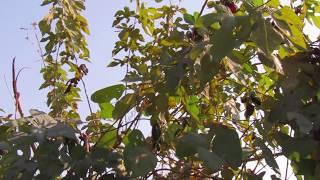 Mucuna pruriens कौंच के फायेदे  :Mahesh Kumar Kushwaha