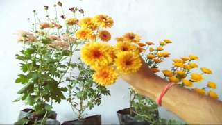how to grow chrysanthemum plant in the pot   winter flowers   guldaudi care tips