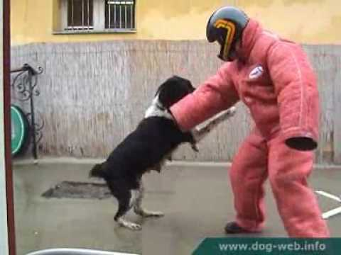 Dog fights Man defending 02. - Central Asian shepherd - Borgia