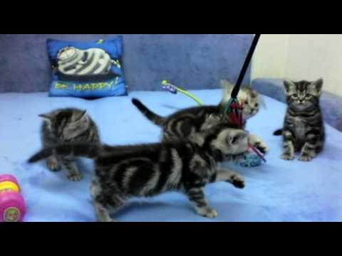 Британские котята окраса вискас (Litter_e_6_weeks)