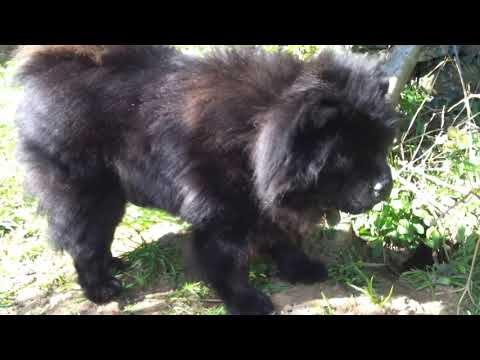 chow chow and schnauzer mix westy hunting