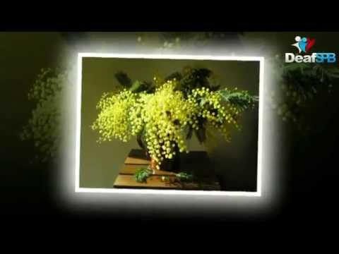 В России зацветает мимоза / In Russia, mimosa blossoms (DeafSPB)
