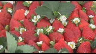 مدينة مولاي بوسلهام تحتفل بمهرجان الفراولة