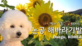 사진찍기좋은 곳 강추/논공 해바라기밭(꽃개, 생활의달인 맛집)