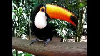 Тукан. Парк птиц (Игуасу, Бразилия) Toucan-Tucano from Brasil