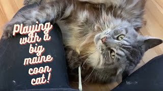 Maine Coon Cats | Playing with a Maine Coon Cat