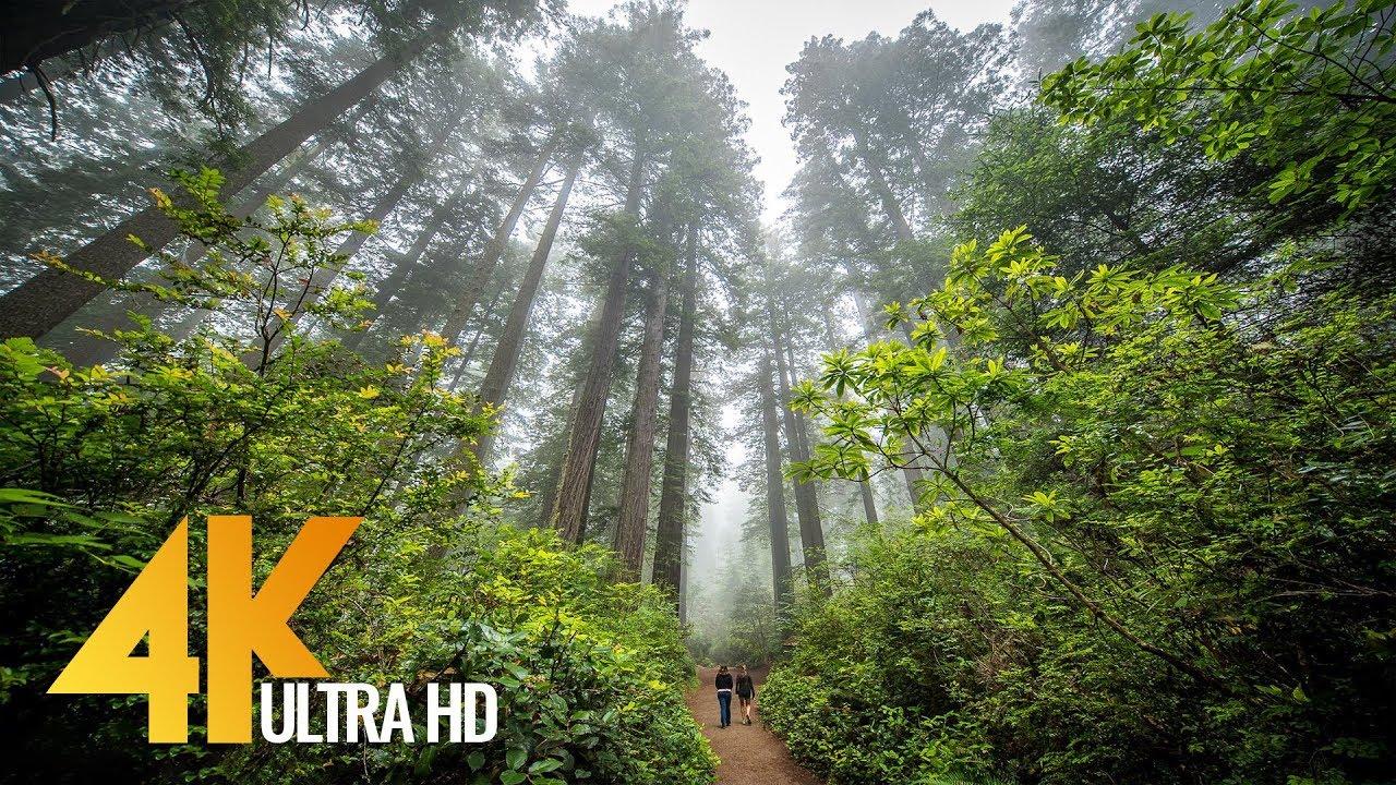 Redwoods Among The Giants In 4k Unique California S