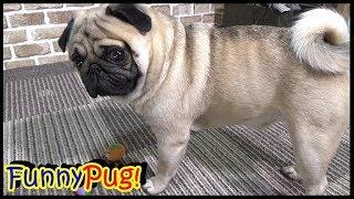 うちのパグ 鼻ペチャな犬は、嗅覚が鈍感らしい説(笑)『おまめ日記』 パグは麻薬探知犬には絶対になれません!