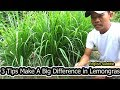 3 Tips Make A Big Difference In  Growing Lemongrass /Sokha Chetra