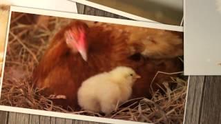 Bunları bilirsinizmi? - Cücənin yumurta daxilindəki inkişafı