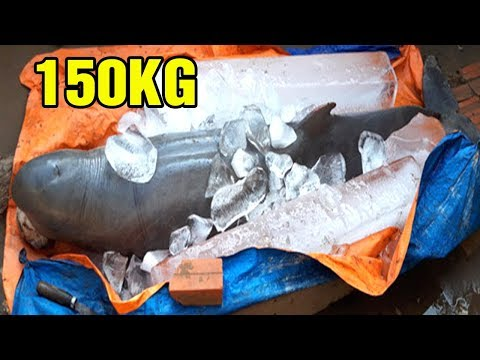 Ngư Dân Bă't Được Cá Lạ Nặng 150Kg Trên Sông Cổ Chiên Ở Bến Tre - TIN TỨC 24H TV