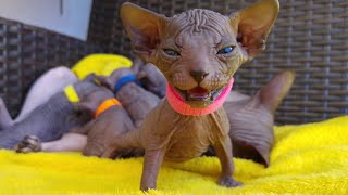 ADORABLE SPHYNX KITTENS 💞 Tİme Lapse of 1 Month in 8 Minutes