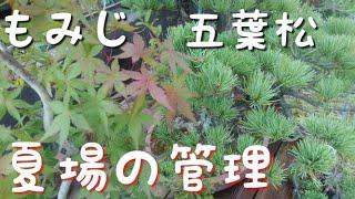 五葉松ともみじの夏場の管理方法をご紹介しています、盆栽初心者の方には とても参考になると思いますのでご覧になってください。