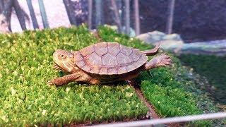 Как чистить акватеррариум красноухой черепахи