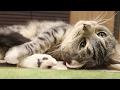 cute cat relaxing on floor / 【猫 かわいい】床でゴロゴロ寛ぐ猫