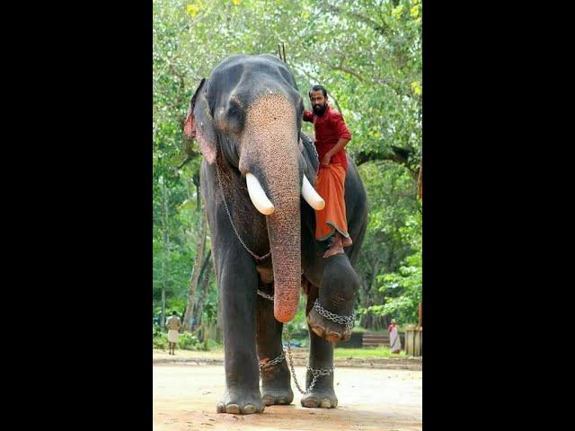 Mambi rocking -Chirakkal kalidasan vs chuliparambil@Chakkumassery temple.