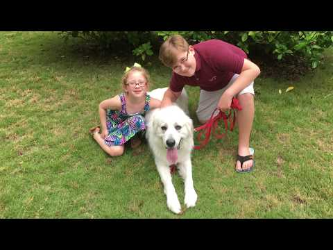 "2 Year Old Great Pyrenees ""Yuki"" Before/After Video 
