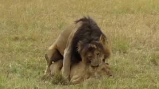 Mating lions, Masai Mara