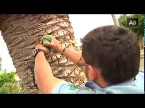 An Andalusian enterprise finds the solution to fight the red palm weevil